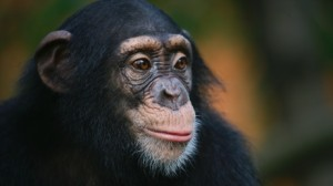 tommy the chimpanzee new york animal cruelty laws