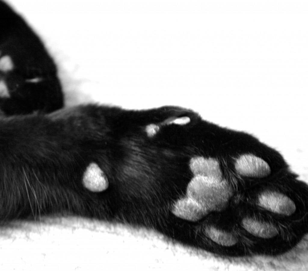 Cat Declawing Illegal in New York | The RMN Agency, Atlanta Legal Recruiters, Atlanta Georgia